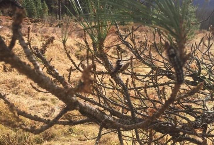 42 тысячи гектаров леса заражены сибирским шелкопрядом в Иркутской области