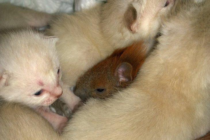 В Иркутской зоогалерее кошка выкормила раненого бельчонка