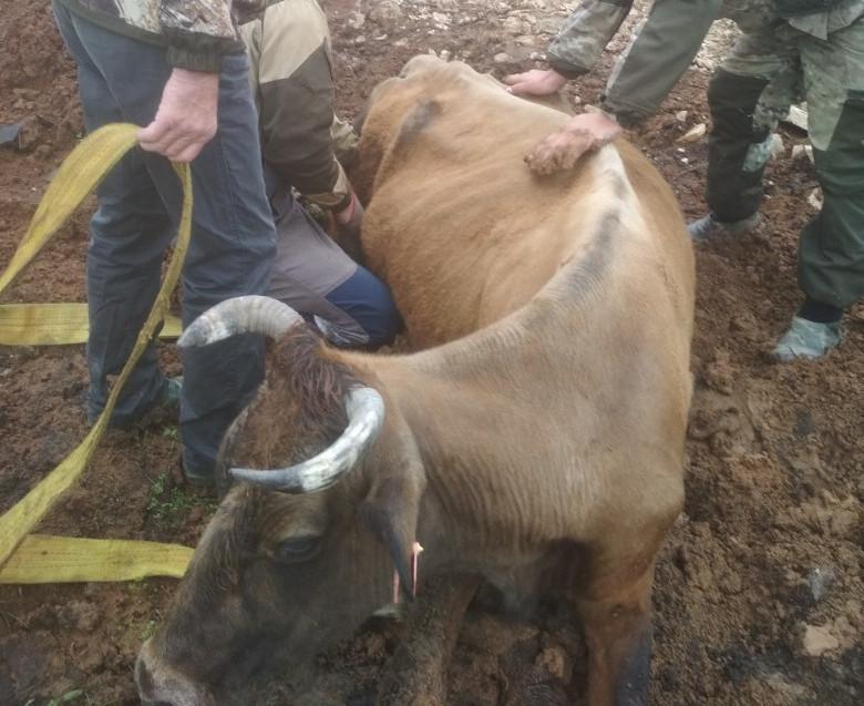 В Башкирии сельчане спасли застрявшую в траншее корову