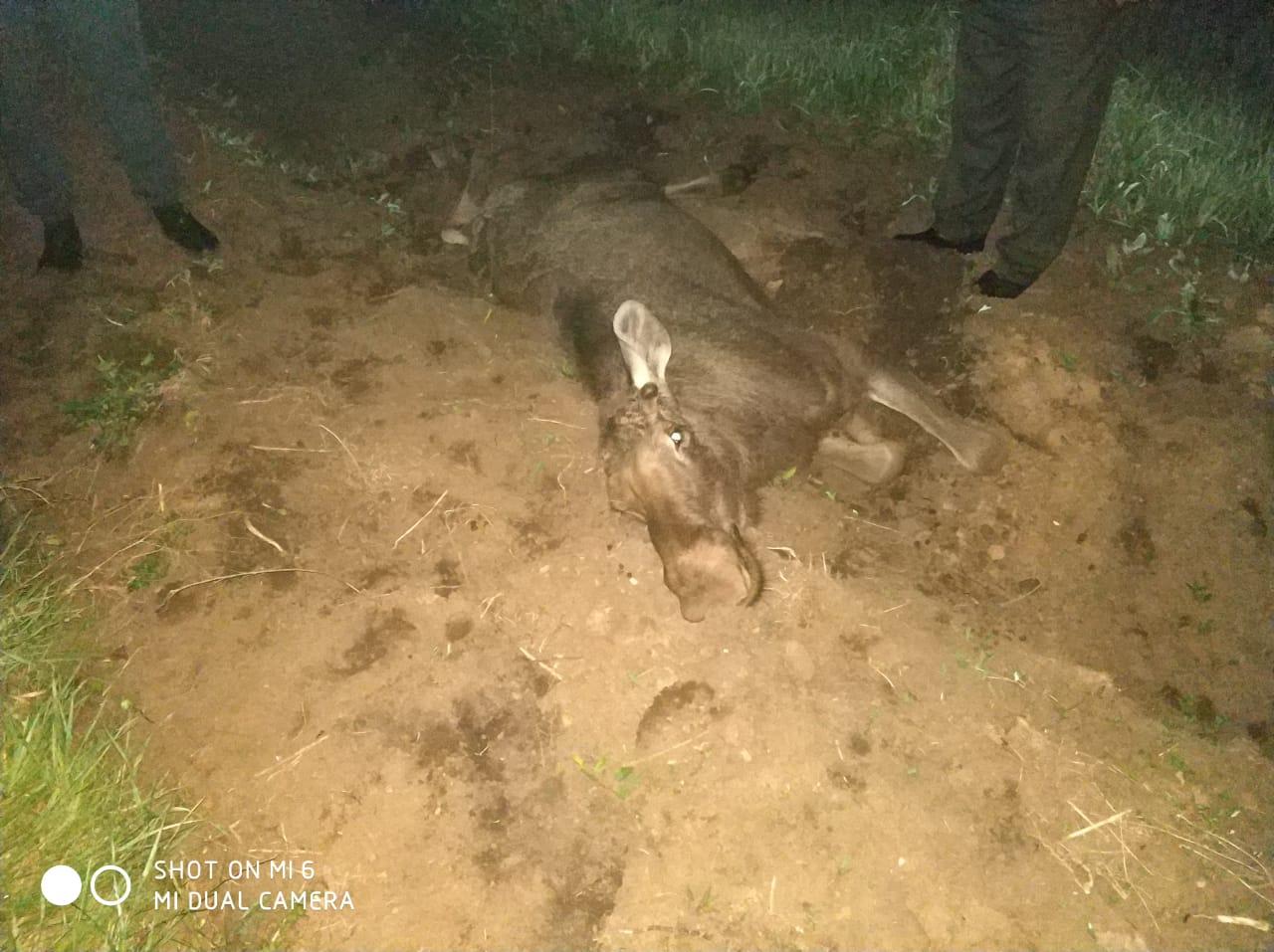 В Башкирии автомобиль сбил лося