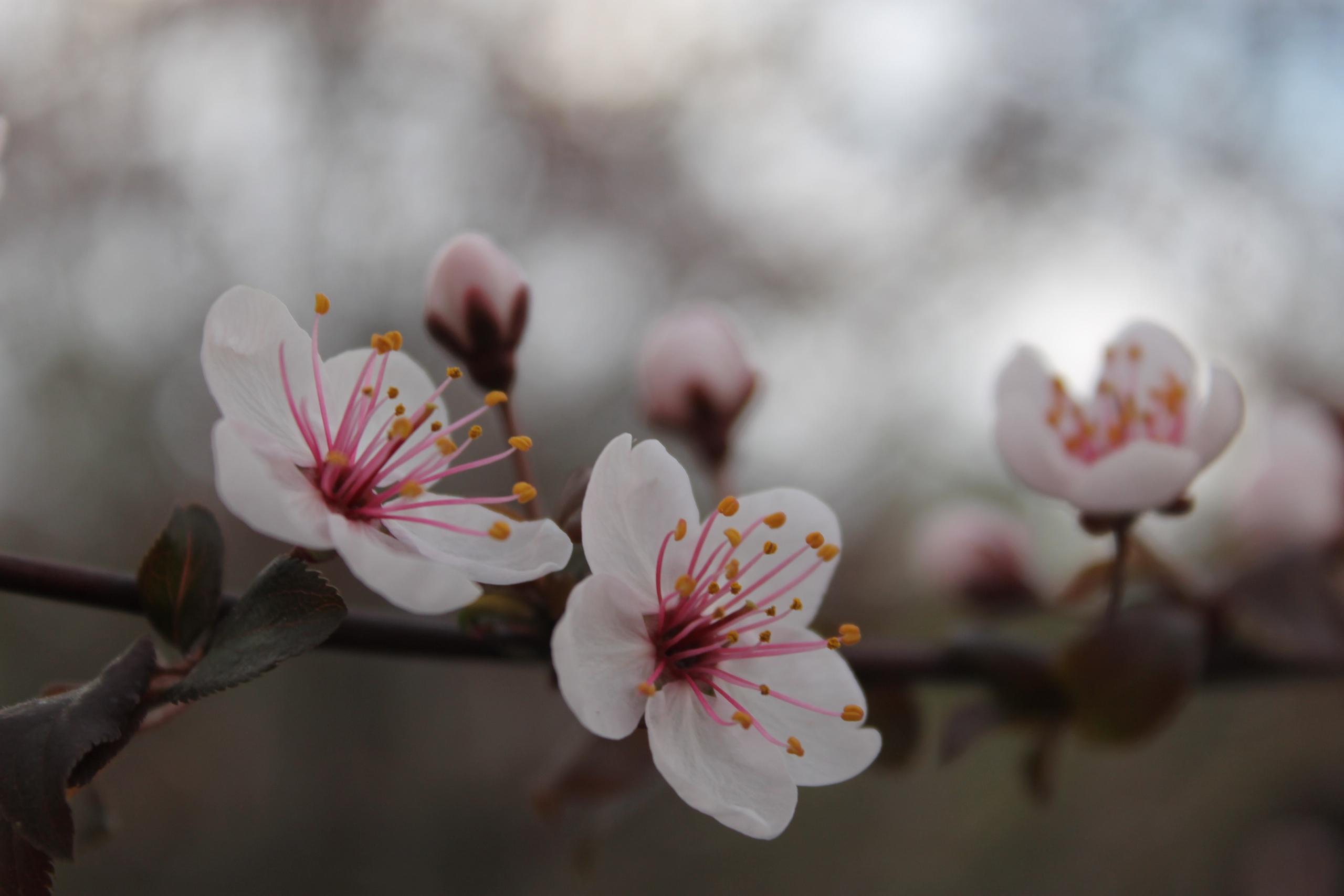 В Уфе расцвела сакура