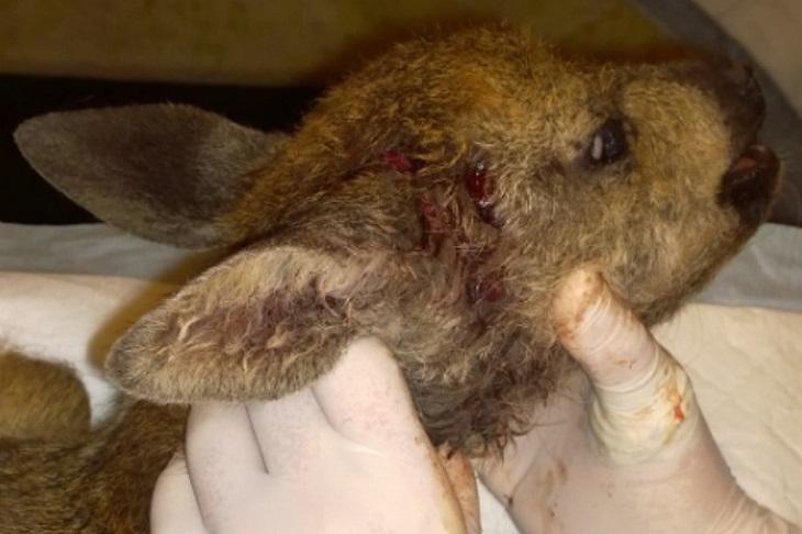 В иркутской зоогалерее спасают косуленка, упавшего со скалы