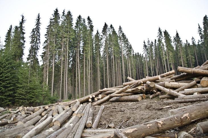 Житель Черемховского района при содействии лесничего вырубил лес на миллион рублей
