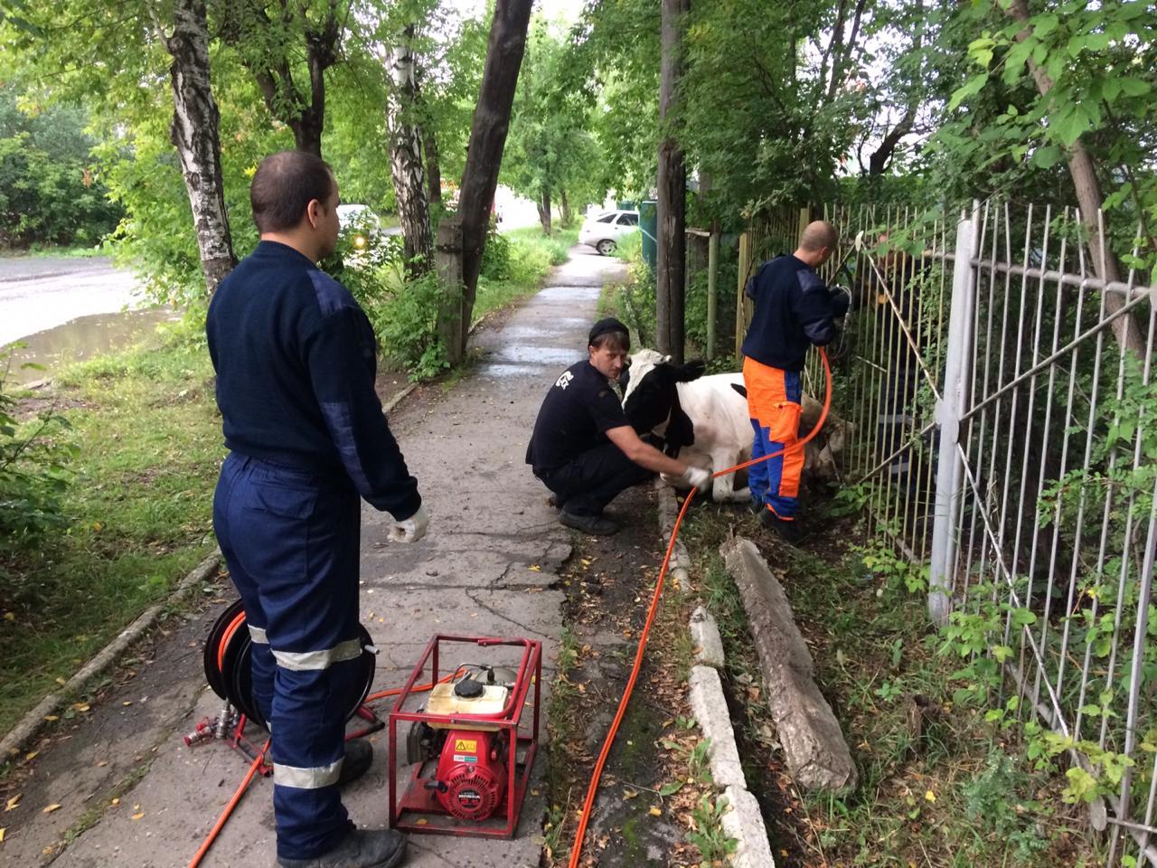 В Башкирии спасатели помогли застрявшей в заборе корове
