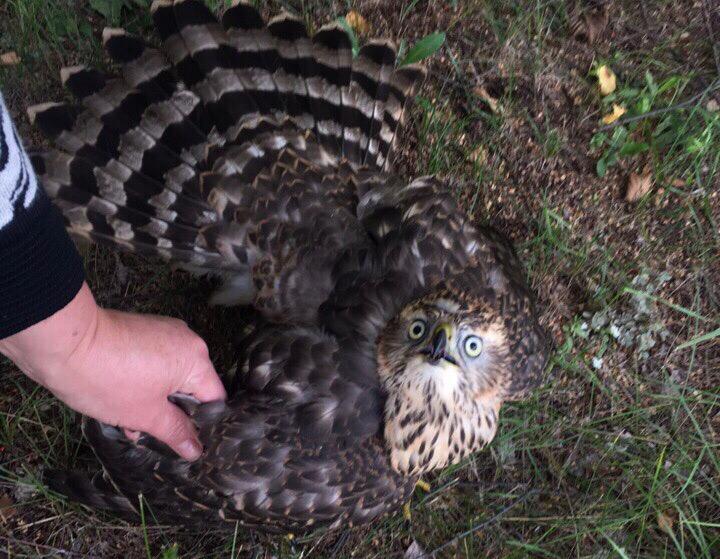 В Башкирии на территории больницы нашли раненую хищную птицу