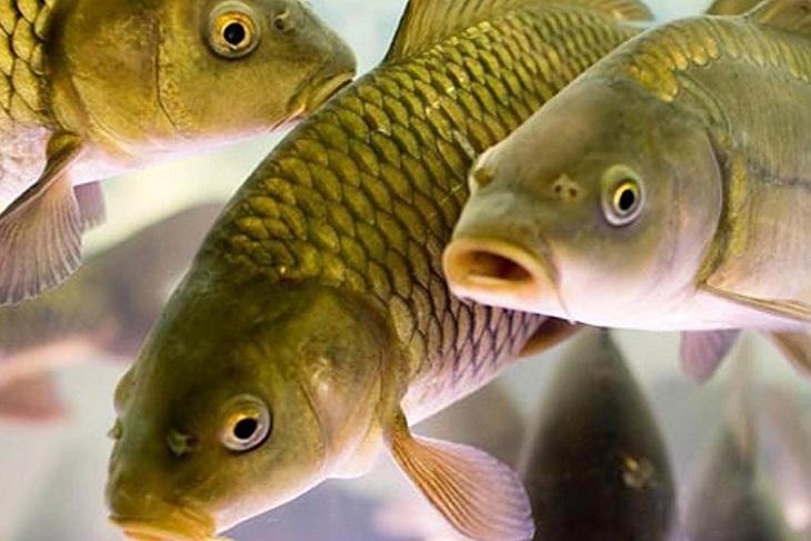 Карповых рыб начнут разводить в озерах Иркутской области