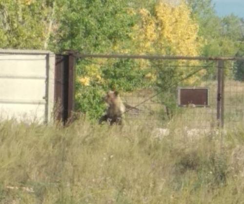 Медведи из Башкирии пугают жителей Магнитогорска
