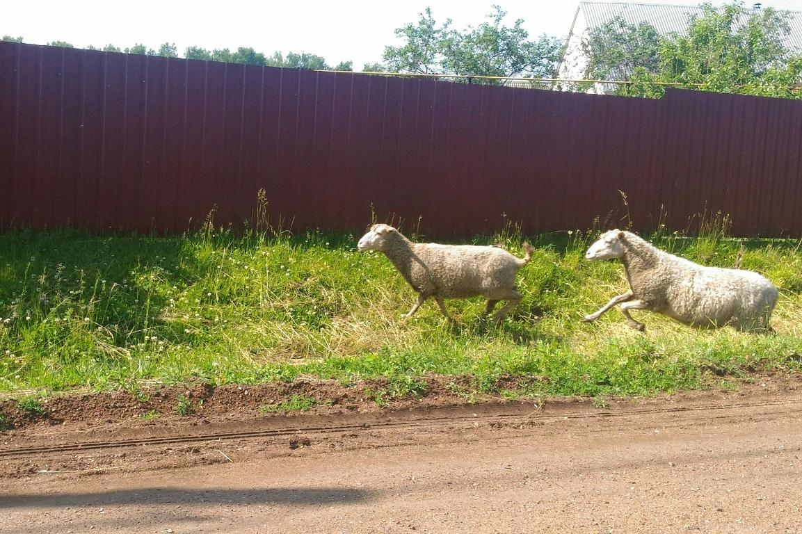 В Башкирии пастух побежал за овцами в лес и заблудился