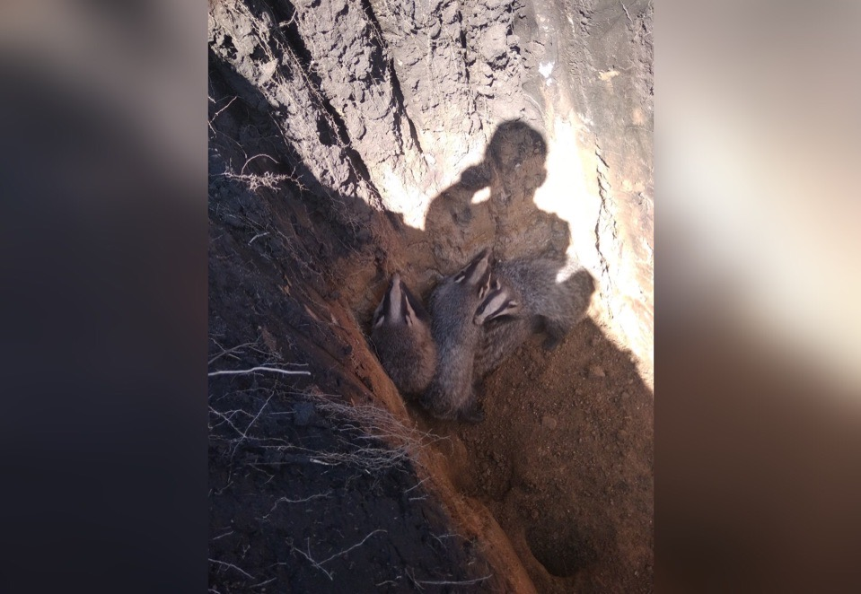 Житель Уфы спас барсуков, провалившихся в могилу