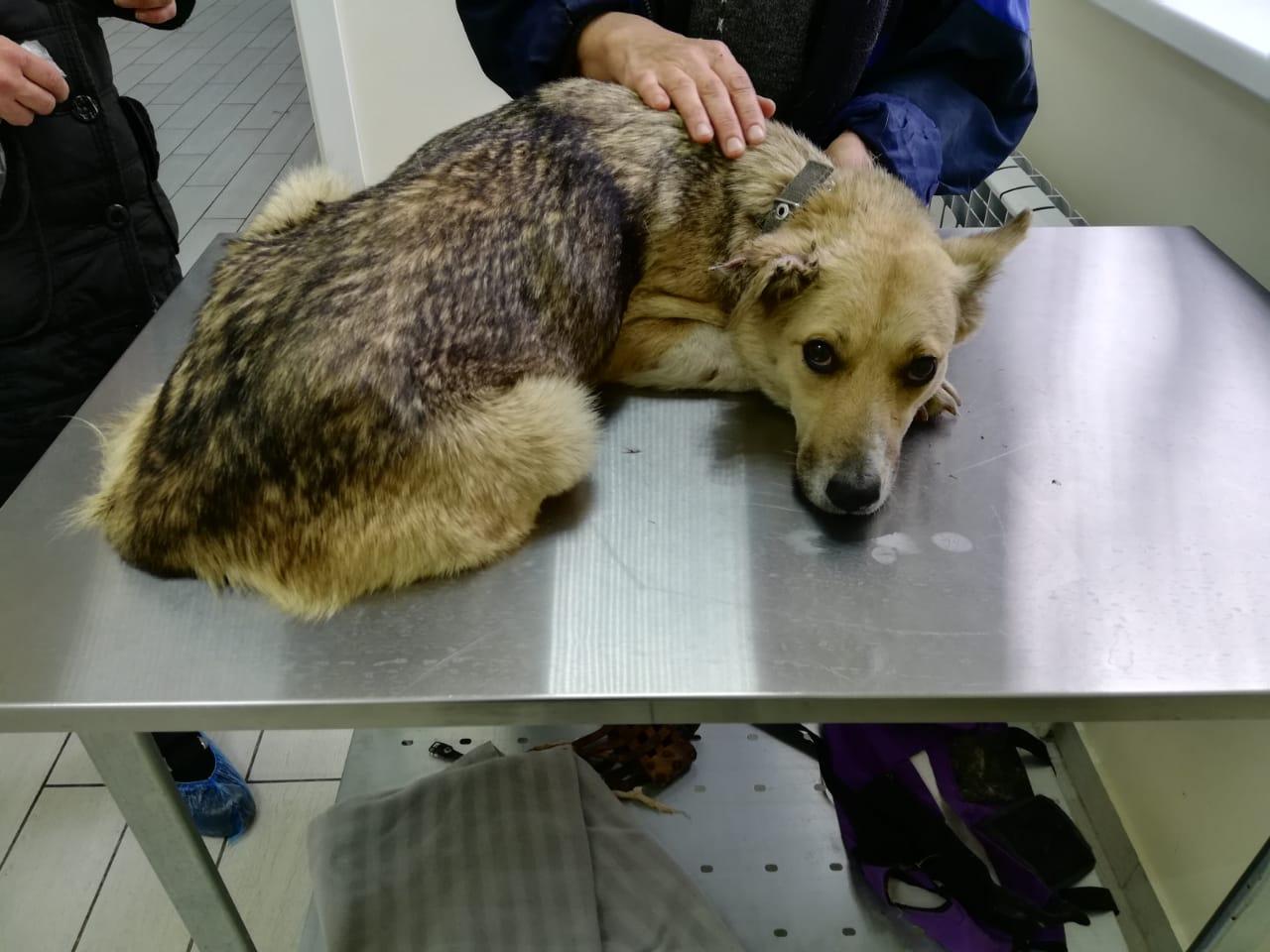 Жителей Башкирии просят помочь бродячей собаке, у которой отсутствует лапа