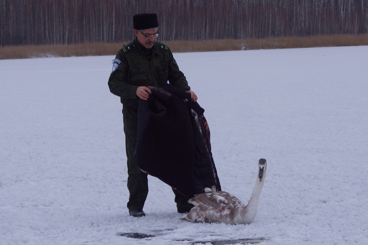 В Башкирии сотрудники парка три дня спасали раненого лебедя